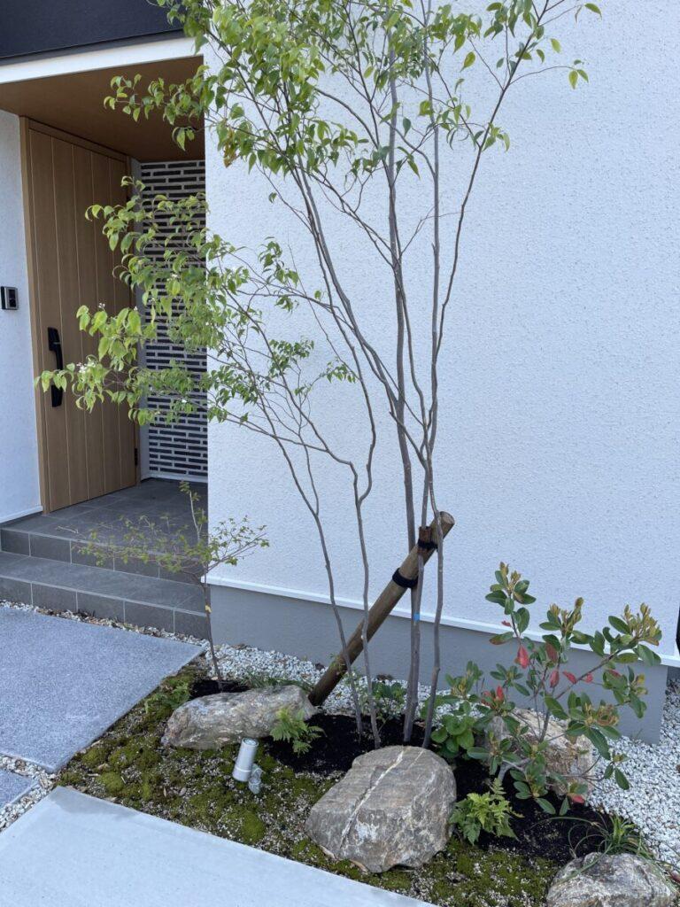 玄関前にハイノキ植えました